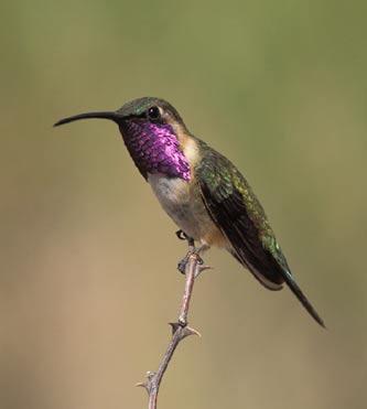 Lucifer Hummingbird - Region 4 - Texas Bird Image Archive