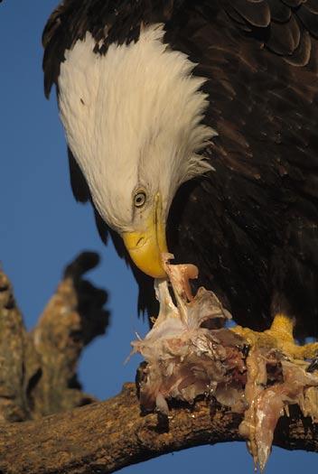 Bald eagles for Fish eating eagle
