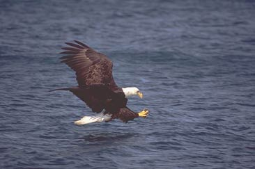 Bald Eagle Catching Fish http://www.nearfamous.com/Pages/StockImages.html